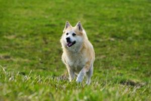 挪威布哈德犬有耳螨如何治疗 挪威布哈德犬耳螨治疗