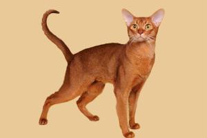 阿比西尼亚猫性格怎么样
