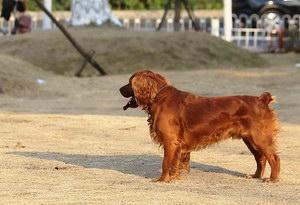 田野小猎犬怎么驱虫 田野小猎犬寄生虫防治方法