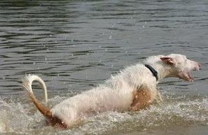 伊比赞猎犬拉稀怎么办 伊比赞猎犬拉肚子解决方法