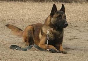 比利时特伏丹犬晕车怎么办 比利时特伏丹犬晕车治疗方法