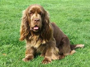 苏塞克斯猎犬抽搐怎么办 苏塞克斯猎犬抽搐原因分析