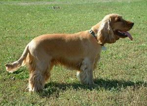 田野小猎犬有牙结石怎么办 田野小猎犬牙结石预防治疗方法