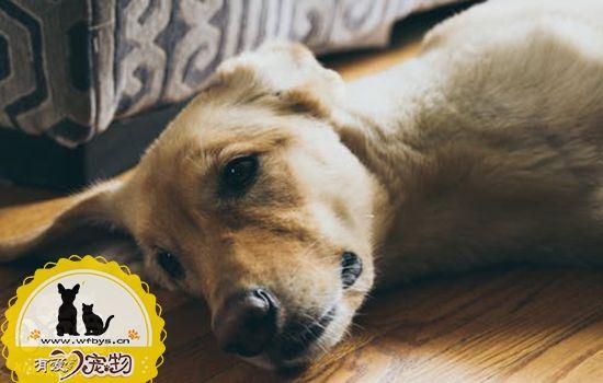 狗狗子宫蓄脓的原因 狗狗子宫蓄脓会产生什么危害