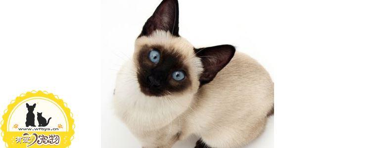 暹罗猫允许和什么猫配 暹罗猫配种的注意事项