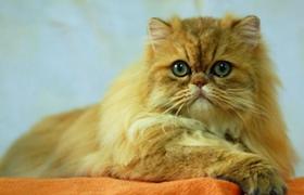金吉拉猫肠胃不好怎么办 金吉拉猫肠胃不好治疗方法