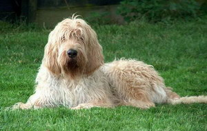 猎水獭犬呕吐怎么处理 奥达猎犬呕吐处理方法