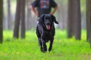 卷毛寻回犬感冒怎么办 卷毛寻回犬感冒治疗方法