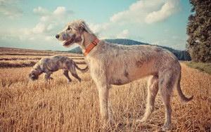 爱尔兰猎狼犬感冒吃什么药 爱尔兰猎狼犬感冒照顾方法