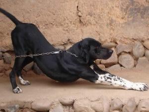 波音达猎犬怎么驱虫 波音达猎犬驱虫方法