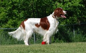 爱尔兰红白雪达犬有螨虫怎么治疗 螨虫治疗方法介绍