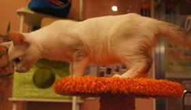雪鞋猫抽搐怎么回事 抽搐原因介绍