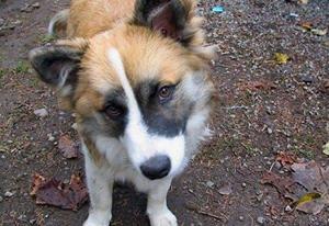 冰岛牧羊犬腹泻怎么办 冰岛牧羊犬腹泻治疗方法