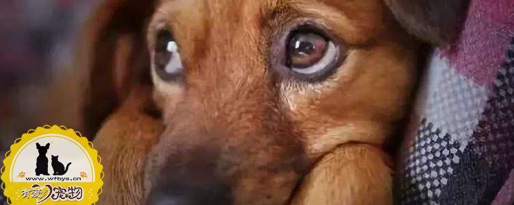 什么样的狗狗容易患抑郁症 你知道吗?