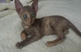 拉邦猫为什么睡觉打呼噜 拉邦猫睡觉打呼噜原因