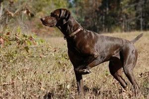波音达猎犬患耳螨怎么治疗 波音达猎犬耳螨治疗方法