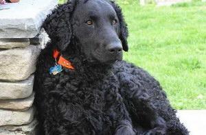 卷毛寻回犬患耳螨怎么治 卷毛寻回犬耳螨防治措施