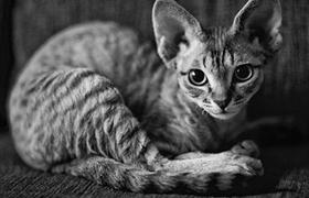 柯尼斯卷毛猫有耳螨怎么办 耳螨治疗方法