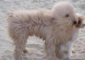 波利犬感冒怎么办 波利犬感冒治疗方法