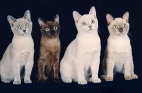 缅甸猫为什么抓人 被缅甸猫抓伤怎么处理