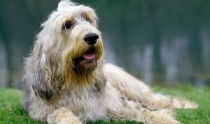 奥达猎犬感冒吃什么药 猎水獭犬感冒照顾方法