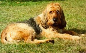 奥达猎犬拉肚子怎么办 猎水獭犬拉稀治疗办法