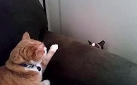 雪鞋猫脱肛如何治疗 直肠脱治疗方法