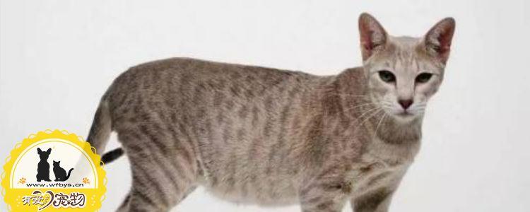 猫咪耳螨要怎么处理 猫咪耳螨需要及时清理!