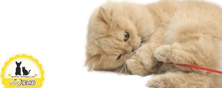 波斯猫的性格特点 波斯猫到底好养吗