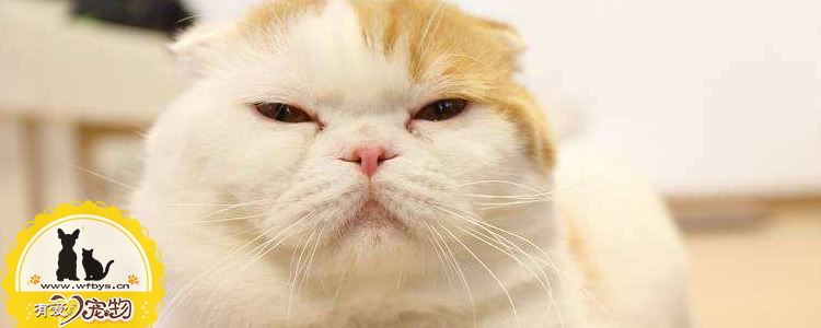波斯猫怎么看品相 该如何挑选