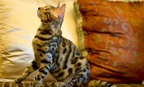 埃及猫感冒了吃什么药 埃及猫感冒用药介绍