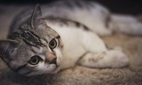 美国短尾猫呕吐怎么办 细心观察呕吐物找病因