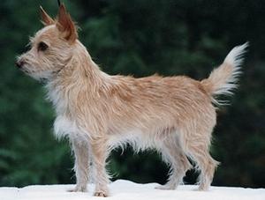葡萄牙波登可犬发烧怎么办 葡萄牙波登可犬发烧治疗方法