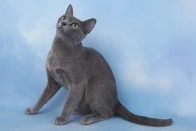 科拉特猫猫瘟怎么治疗 猫瘟隔离治疗方法