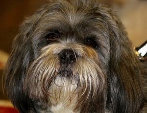 拉萨犬发烧怎么解决 拉萨犬发烧处理方案