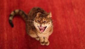 威尔斯猫怎么预防圆线虫病 圆线虫预防治疗方法