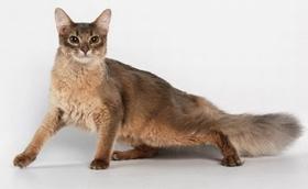 怎么治疗索马里猫幽门阻塞 幽门阻塞治疗方法