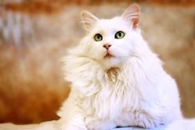 波米拉猫得线虫病怎么办 泡翼线虫病治疗方法