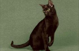 哈瓦那棕猫生病吃什么 哈瓦那猫生病饮食推荐