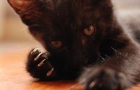 孟买猫便秘吃什么 孟买猫便秘饮食推荐