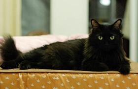 孟买猫咳嗽怎么治疗 孟买猫咳嗽治疗方法
