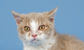 塞尔凯克卷毛猫得了垂体肿瘤怎么办
