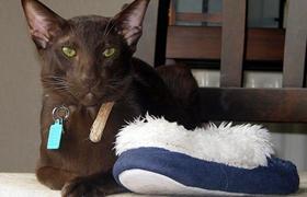 哈瓦那棕猫打喷嚏什么原因 哈瓦那棕猫打喷嚏原因介绍