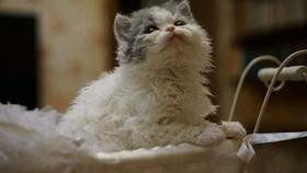 塞尔凯克卷毛猫干呕怎么办 几种导致猫咪容易干呕