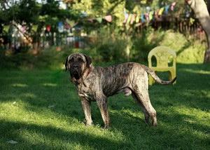 加纳利犬抽筋怎么办 西班牙加纳利犬痉挛解决方法
