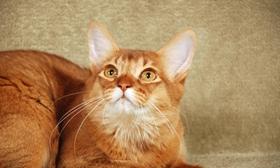 索马里猫猫肥大细胞瘤怎么治疗