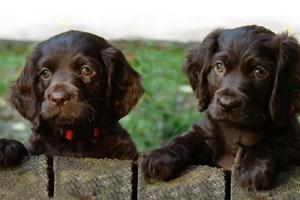 博伊金猎犬异食癖怎么办 异食癖原因及治疗方法