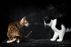 东方短毛猫怎么治疗猫瘟 东方短毛猫猫瘟治疗方法