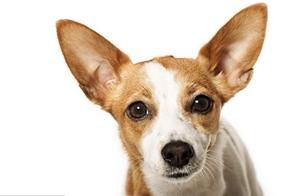 葡萄牙波登可犬肠炎症状是什么 肠炎症状介绍