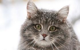 怎么治疗西伯利亚猫的跳蚤性皮炎 跳蚤性皮炎症状介绍